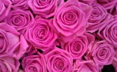 Miniature de roses